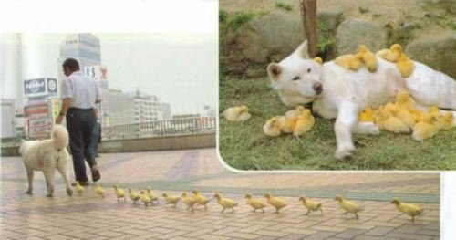 dog and her ducklings?